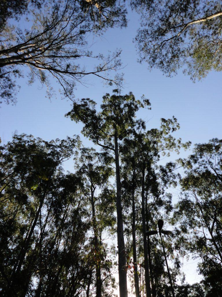 Os eucaliptos do Portão 9: mais antigos e mais altos