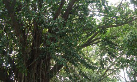Árvores antigas lutam para sobreviver em São Paulo