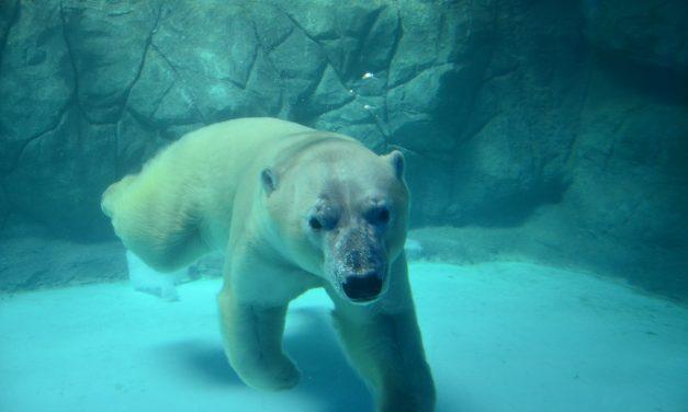 Os especialistas russos que trouxeram os ursos polares para o Aquário de São Paulo